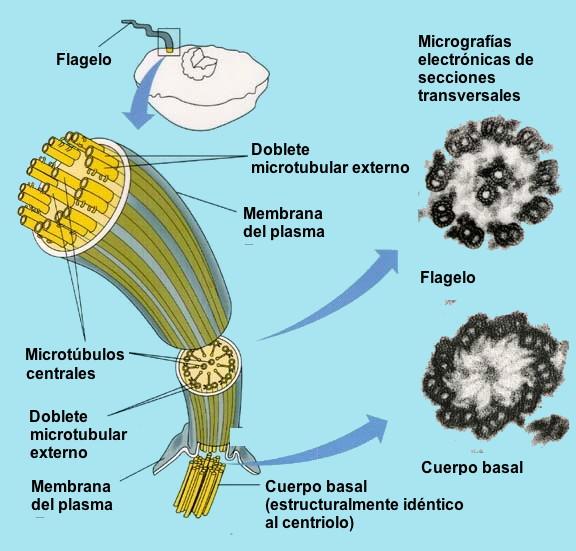external image Eukaryotic-ES.jpg