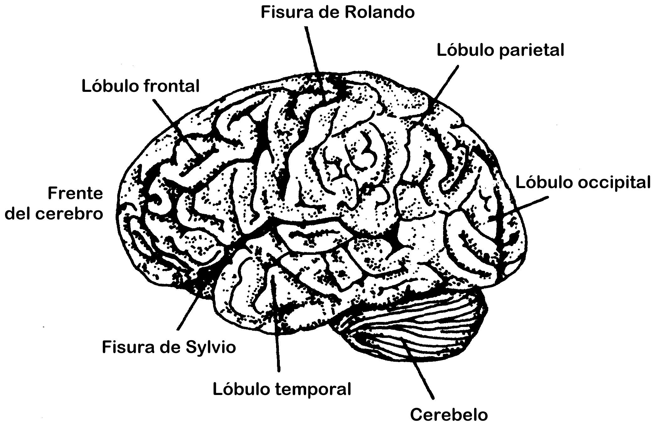 Dorable Diagramas Del Cerebro Elaboración - Anatomía de Las ...